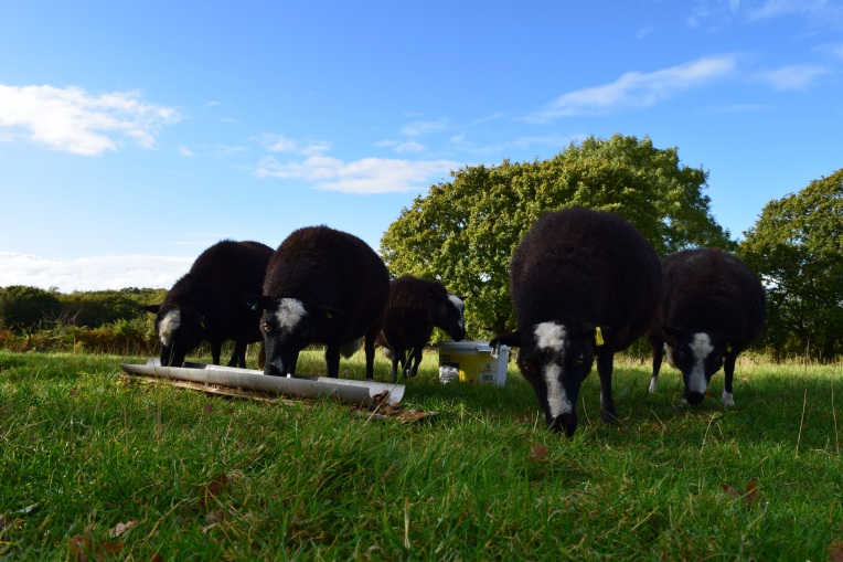 Balwen Welsh Mountain Sheep
